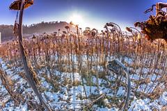Sonnenblumen im Winter (Bugtris) Tags: winter sunrise canon pov perspective fisheye landschaft abstrakt hdrdri 5dmkiii 815f4l