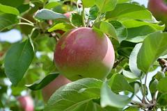 McIntosh Apple (thomas.hartmann496) Tags: red food plant tree green apple leaves photo fresh mcintosh