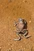 Egg Fertilization - Red-spotted Toads Mating (jpmckenna - Tenquille Lake Up Next) Tags: utah hiking backpacking canyonlandsnationalpark canyonlands saltcreek desertlandscape redspottedtoad getoutside matingtoads bufopunctatus amphibianporn needlestraverse
