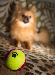 Boo the Pomeranian and the ball. . . (CWhatPhotos) Tags: pictures camera light portrait dog pet brown colour cute love field animal canon ball puppy print that photography eos pom paw colours foto dof image affection artistic bokeh pics dwarf sandy iii flash picture adorable canine pic images have photographs photograph fotos 5d colored setup pup pomeranian coloured which playful spitz depth multi contain portrat pompom colourfull 2015 pomeranium portraited zwergspitz cwhatphotos dwarfspitz