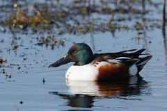 Shoveler m (Steve Balcombe) Tags: male bird somerset anas shoveler levels clypeata greylakerspb
