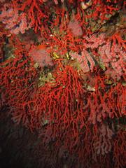 corail rouge (nicolas.cimiterra) Tags: mediterranean underwater scubadiving mediterraneansea redcoral