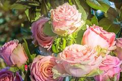 Ganz viele (Renate Bomm) Tags: pink jardin rosa rosen pictureoftheday garten blten 2016 rosaceae 366 sommerblumen rosengewchse kniginderblumen flickrunitedaward renatebomm