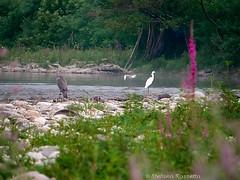 _S527442738 (Rosshox) Tags: naturalphotography natura wildlife action animals animali fujifilm fujifilmxs1 volatili