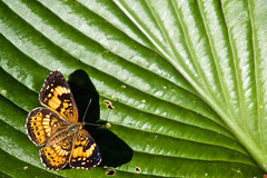 Silvery Checkerspot (LastNitesFun) Tags: ivyvirginia summer garden butterfly insect silverycheckerspot hosta leaf shadow