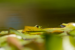 Frogger (brianmcl58) Tags: germany tuebingen frog pool pond lillypad nature