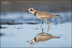 Semipalmated Plover (lironsnaturephotography.com) Tags: semipalmatedplover charadriussemipalmatus plover plovers shorebird shorebirds shorebirdmigration shorebirdphotography shorebirding shore shorebirdphotographyworkshop pacific pacificnorthwest pacificcoast pacificflyway migration migrating migratory migratoryshorebird migrant boundarybay delta deltabccanada bc britishcolumbia canada lowermainland greatervancouver metrovancouver vancouver bird birds birding birdphotography birdwatching nature naturephotography natural wild animal animals wildlife wildlifephotography lironsnaturephotographycom canon canon7dmarkii canoneos7dmarkii 7dmarkii fraserriverdelta mud mudflats intertidal canonef400mmf56lusm 400mm