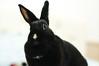 DSC02045 (mb10001114) Tags: pet cute rabbit bunny 50mm nikon sony taiwan nikkor 台灣 兔子 桃園 寵物 兔兔 兔 nikkorsc50mmf14 oldlens 小可樂 nex5t 寵物兔