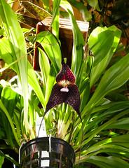 Dracula roezlii  ('Beta' x 'Cow Hollow') species orchid 7-16 (nolehace) Tags: summer nolehace fz1000 flower bloom plant 716 dracula roezlii species orchid beta cow hollow sanfrancisco