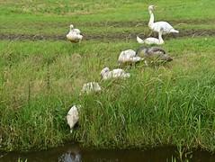 The Ugly Duckling.. mirror mirror .. (Pics4life.nl off and on next week) Tags: zwanen jongezwanen swan swans netherland holland water grass nl familie mirror reflection spiegel