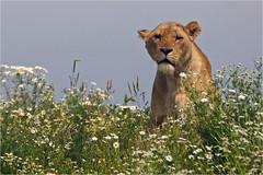 Wildlands Lioness (Foto Martien) Tags: africa holland netherlands dutch animal mammal zoo sony lion nederland bigcat afrika harem drenthe emmen lwe a77 dierentuin leeuwin leeuw dierenpark africanlion greatcat liones pantheraleo zoogdier afrikaanseleeuw zooemmen lenafricano afrikanischerlwe martienuiterweerd fotomartien sonyslta77v sonyalpha77 geotaggedwithgps tamron70300mmf456sp wildlandsadventurezoo