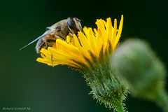 AAF_6328 (De Hollena) Tags: geestmerambacht hoverfly schwebfliege zweefvlieg