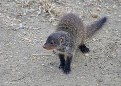 Banded Mongoose  Mungos mungo (nik.borrow) Tags: mammal mongoose