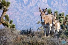 0724 IMG_5407 (JRmanNn) Tags: burros burrito bonniespringsranch morning light lasvegas bluediamond