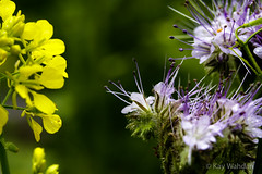 Blumenpracht (Kay Wahdan) Tags: blossom blumen blte blten castroprauxel dof flower freude frhling garden garten gelb ickern joy natur nature nordrheinwestfalen pflanzen plants ruhrvalley ruhrgebiet sommer spring summer tamron tiefenschrfe wow yellow