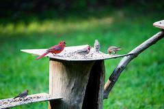 IMG_2532-Edit (Sharon Shifflett) Tags: birds cardinal