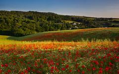 Polbathic poppyscape (snowyturner) Tags: flowers light summer field landscape cornwall meadow poppies