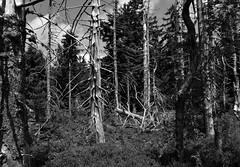 Dead forest - Toter Wald (Lala89_Photos) Tags: forest dead wald tot tree baum trees bume schwarzwald blackforest black waldsterben blackandwhite white schwarzweis