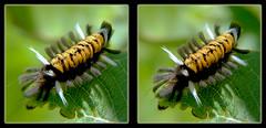Milkweed Tussock Moth Caterpillar, Euchaetes Egle 2 - Crosseye 3D (DarkOnus) Tags: pennsylvania buckscounty panasonic lumix dmcfz35 3d stereogram stereography stereo darkonus closeup macro insect milkweed tussock moth caterpillar euchaetes egle crossview crosseye