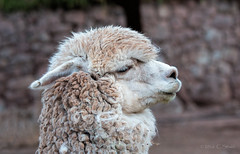 Alpaca Wool (cheryl strahl) Tags: peru sacredvalleyoftheincas camelids awanakancha cultural textile alpaca wool andrean droh dailyrayofhope