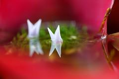 """ネオレゲリア・カロリナエ/Neoregelia carolinae (nobuflickr) Tags: 20160702dsc03960 ネオレゲリア・カロリナエ neoregeliacarolinae パイナップル科ネオレゲリア属 japan flower kyoto """"the botanical garden"""" nature 京都府立植物園 花 日本 awesomeblossoms"""