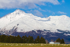 Pastoral New Zealand (Lathkill96) Tags: reesvalley mountains snow scenery landscape pastoral pasture paddock sheep flock flockofsheep snowcovered snowcoveredmountains rural