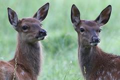 Leighton Moss Red Deer 1 (Ged Gill) Tags: leightonmoss deer red
