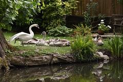 Basingstoke Canal Ash Vale 14 August 2016 048 (paul_appleyard) Tags: basingstoke canal ash vale february 2016 swan cygnet cygnets garden surrey