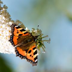 Kleine Vos (Lucin Reyns) Tags: butterfly vlinders zeeuwsvlaanderen pentaxk1 da300mm summer zomer kleinevos
