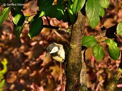 Kohlmeise am Baumstamm (GerWi) Tags: kohlmeise vgel birds tiere animals outdoor natur nature baumstamm
