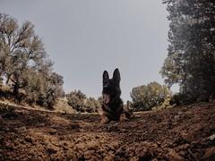 (lukke16) Tags: naturaleza animales dogs maya pastoralemán perros hero4 gopro