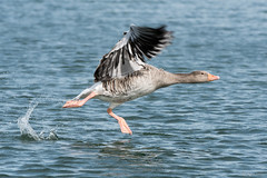Lift off (Shane Jones) Tags: greylag goose bird birdinflight waterfowl wildlife rutland rutlandwater nikon d500 200400vr tc14eii