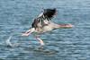 Lift off (Shane Jones) Tags: greylag goose bird birdinflight waterfowl wildlife rutland rutlandwater nikon d500 200400vr tc14eii