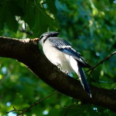 Blue Jay (Dendroica cerulea) Tags: bluejay cyanocittacristata cyanocitta corvidae corvoidea passeri passeriformes psittacopasserae eufalconimorphae aves bird jay corvids summer highlandpark middlesexcounty nj newjersey