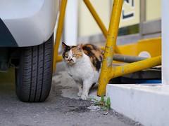 Cat of Hannam-dong (Travis Estell) Tags: calicocat cat hannam hannamdong korea republicofkorea seoul southkorea straycat yongsan yongsangu
