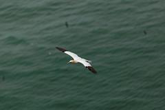 FLYING HIGH (skysthelimit333) Tags: gannet gannetflying coast yorkshirecoast waterfowl