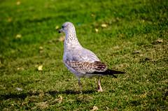 walla-dsc-1597 (pchida) Tags: bird birdphotography nikonphotography d5100 birds nature animals
