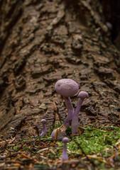 Amethyst Deceiver (Laccaria amethystina) (markhortonphotography) Tags: autumn mushroom pine markhortonphotography woods amethystdeceiver fungi leaflitter pineneedles woodland surrey macro tree thatmacroguy fungus surreyheath laccariaamethystina forestfloor purple toadstool