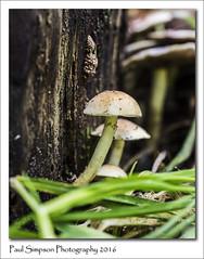 Autumnal Mushroom (Paul Simpson Photography) Tags: paulsimpsonphotography photoof photosof imagesof imageof nature normanbypark september2016 sonya77 mushroom fungi fungus fungal grass treestump naturalworld damp growing toadstool