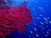 gorgonia (Joan Ribas Ferrer) Tags: dive gorgonia mediterranian ibiza formentera uwphotography underwater blue sea
