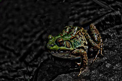 Green Frog (bobrizz1) Tags: 1001nights 1001nightsmagiccity contactgroups thebestofmimamorsgroups photothebestofmimamorsgroups vividstriking
