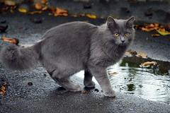 In versione autunnale...... (stefyBuff) Tags: cat gatto autunno pozzanghera foglie