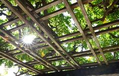 Wisteria Pergola Sunburst (HorsePunchKid) Tags: brooklynbotanicgarden japanesehillandpondgarden taxonomy:binomial=wisteriafloribunda taxonomy:kingdom=plantae taxonomy:phylum=magnoliophyta taxonomy:order=fabales taxonomy:family=fabaceae taxonomy:genus=wisteria fabales plantae wisteriafloribunda fabaceae magnoliophyta wisteria taxonomy:eolid=704192 taxonomy:common=japanesewisteria taxonomy:claderoot=plantae clade:plantae=tracheophyta clade:tracheophyta=magnoliopsida clade:magnoliopsida=fabales clade:fabales=fabaceae clade:fabaceae=wisteria clade:wisteria=floribunda