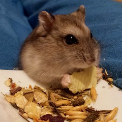 Sawyer the hamster (FranTravelStories) Tags: animal pet hamster criceto fluffy hairy cute samsungs4
