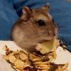 Sawyer the hamster (FranTravelStories) Tags: animal pet hamster criceto fluffy hairy cute samsungs4 animali animale animals pets beast beasts life wild nature natura