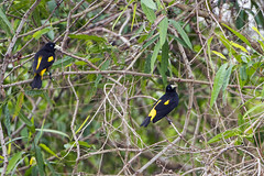 Yellow-rumped cacique building nests II (Tambako the Jaguar) Tags: yellowrumpedcacique cacique tree branches many building nest bird wildanimal wild wildlife nature pantanal matogrosso brazil nikon d5