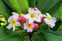 Bermuda Plumeria (Stabbur's Master) Tags: royaldockyard flowers blooms plumeria bermuda