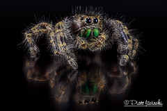The Daring Jumping Spider - Phidippus audax (Karlgoro1) Tags: canon eos macro photo mpe 65mm f28 eye eyes zerene stacker insect focus stack closeup bug macrolife animal 5d mkii the daring jumping spider phidippus audax