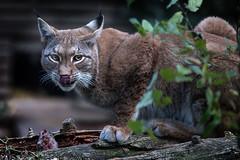 lynx (Sabinche) Tags: lynx animal mammal zoo outdoor canoneos5dmarkiii sabinche