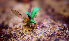 Clear for take off ! (gshaun12) Tags: macro macrodreams nature fantasticnature bug beetle green bokeh upclose insects wildlife animals wings dof